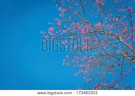 Wild Himalayan Cherry,chiangmai Thailand
