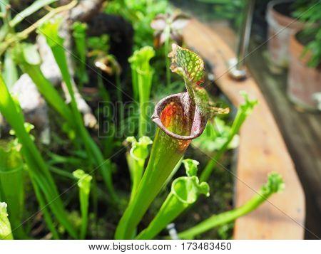Sarracenia leucophylla Pitcher Plant in a Garden