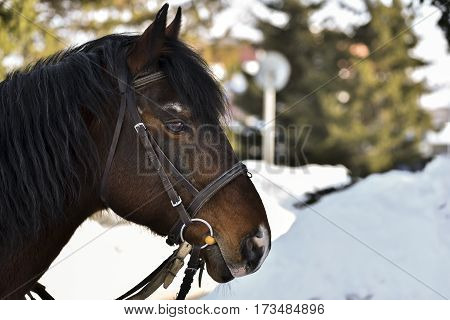 The head of dark brown horse with a harness close-up