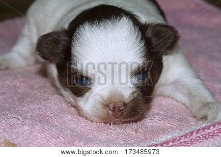 puppy dog baby  chiuaua Young Animal Cute