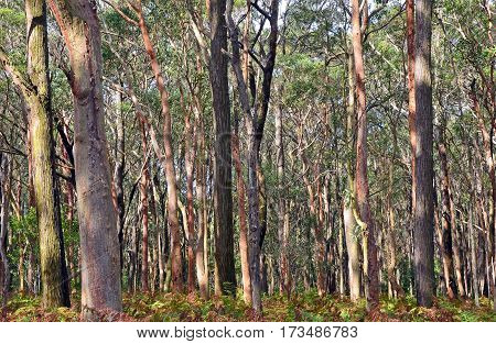Australian Eucalyptus forest background with Sydney Red Gums, Angophora costata, and bracken fern understorey at Darkes Forest, New South Wales, Australia