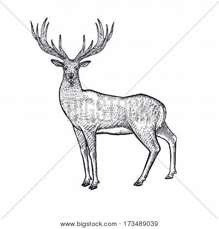 Forest animal deer. Hand drawing sketch black ink isolated on white background. Vector art illustration. Vintage engraving style. Nature objects of Wildlife mammals.