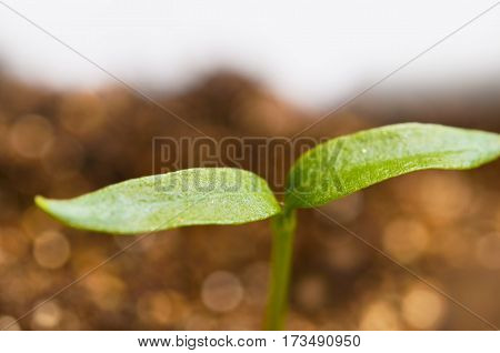 Young pepper plants growing in greenhouse. Agricultural Season. Spring Concept Of New Life.