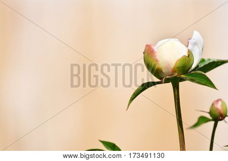 Flower background. Peony bush. Can be used as a wallpaper or background.