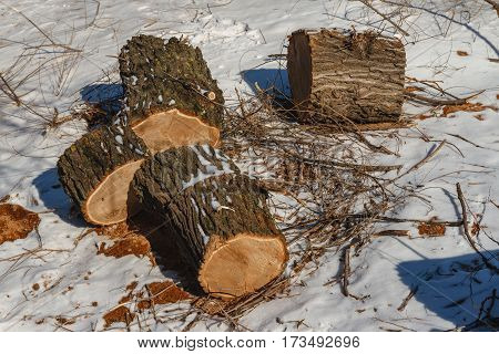 The cut piece of thick logs lying on the ground. Logging of old sick trees.