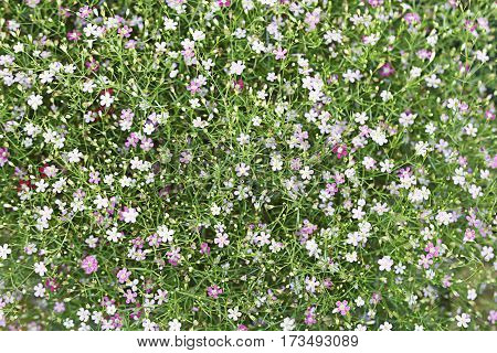 Gypso Flower In The Garden For Background