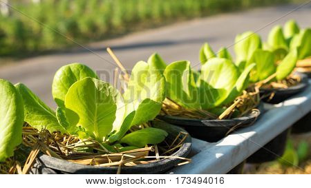 cos lettuce or lettuce in the garden Organic food