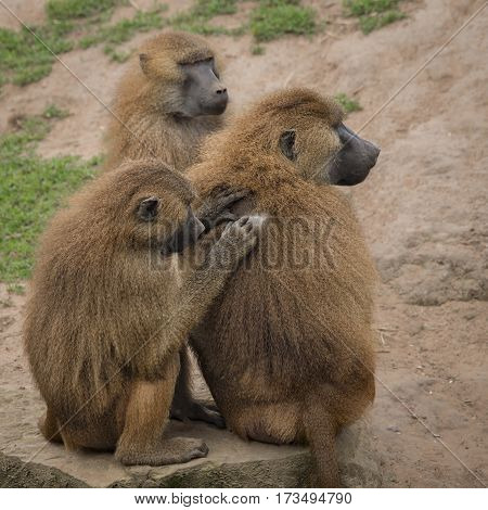 A group of three young baboons in a social gathering preening and grooming