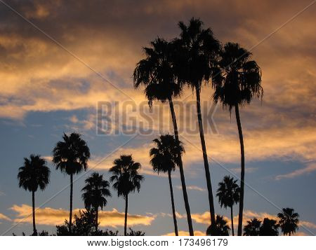 Tall, thin palm trees silhouetted against golden clouds and blue sky after sunset.