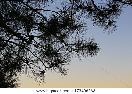 Pine branches with needles silhouetted against a twilight evening sky, copy space