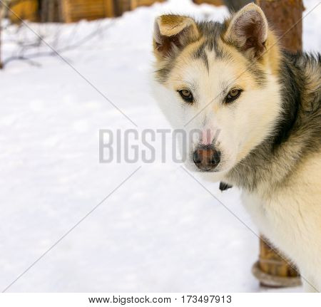 sled dog puppy Siberian Husky closeup .