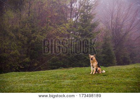 herding dog is on a hillside misty spring morning
