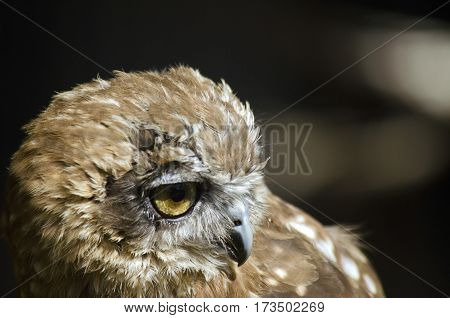 this is a close up of a boobook owl