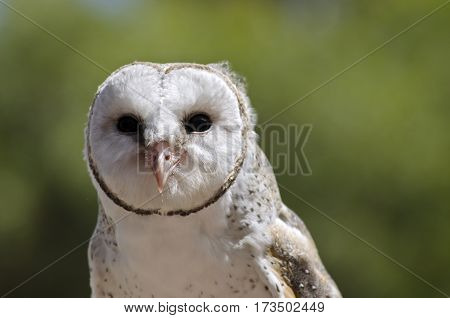 this is a close up of a barn owl