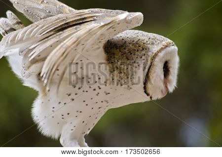 the barn owl is about to take off and fly away