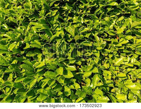 a wall of green leaves as background