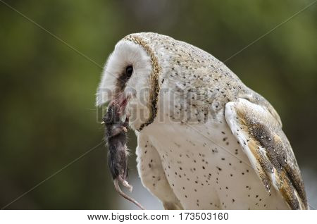 this is a close up of a barn owl with a mouse