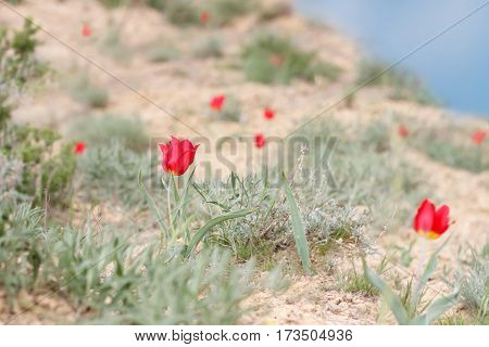 blossoming red tulips (Tulipa gesneriana Tulipa suaveolens Tulipa schrenkii) on the mountainside Bogdo in desert. small DoF focus put only left flower