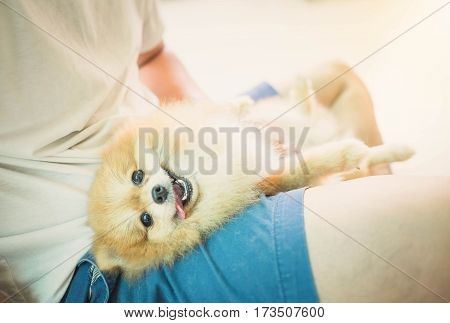 Fluffy Pomeranian Dog With A Smiling Owners Not Happy With Th Lap.