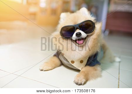 Dog Pomeranian Spitz Wearing Glasses But With The Lovely And Cool.