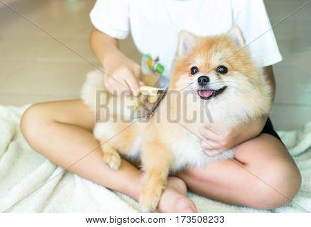 Boy Brushing her animal Pomeranian dog happy