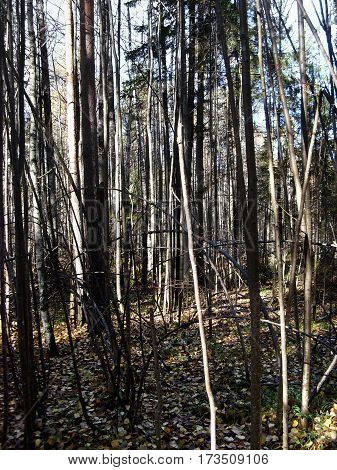 the in impenetrable thickets of wild forest
