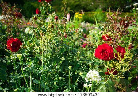 Garden with Red roses with other different flowers in bloom