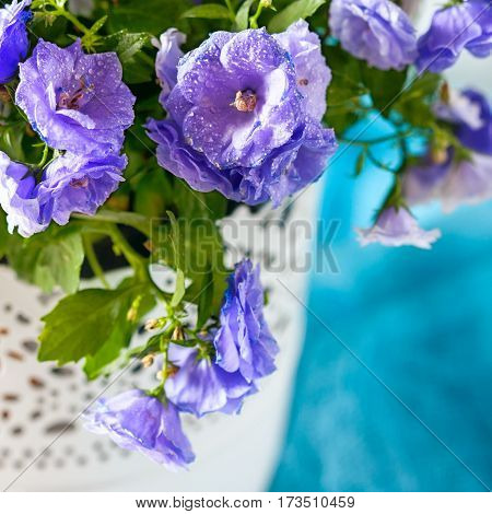 Small Purple Flowers, Bellflower, Campanula, In The Pot In The Sun.