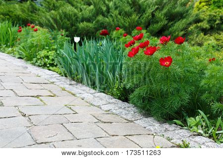 Red tulips near garden path. Landscape design of garden. Modern landscaping. Flowerbed and evergreen bushes.