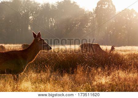 Female red deer in Richmond Park London