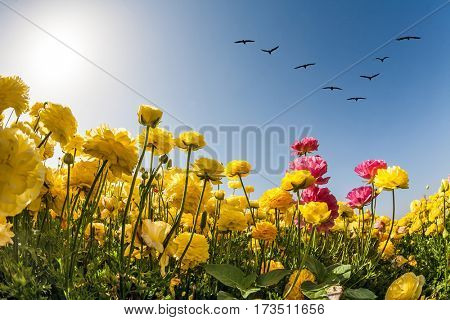Magic country of the sun, sky and flowers. Migratory birds flying high in the sky. The southern sun illuminates the fields of buttercups