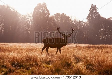Male red deer in Richmond Park, London