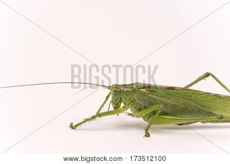 Citrus Locust Cotton Locust Chondracris Rosea Brunneri On Whi
