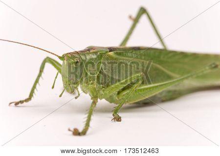 Green Grasshopper Over White Background