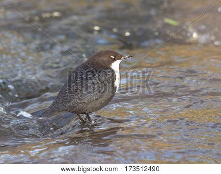 Dipper hunt in a stream, white eyelid closed - Cinclus cinclus
