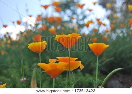 yellowish orange poppy flowers on stems and flowery background