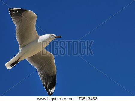 silver gull in flight with wings wide open with blue sly background