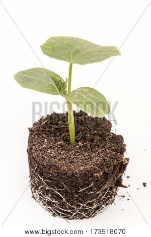 Cucumber Baby Plant In Soil With Roots Over White