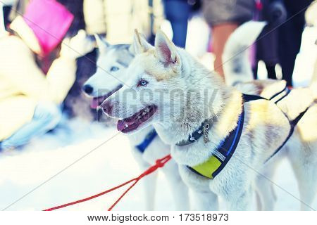 Sledding with husky dogs in Lapland Finland. Two cute dogs