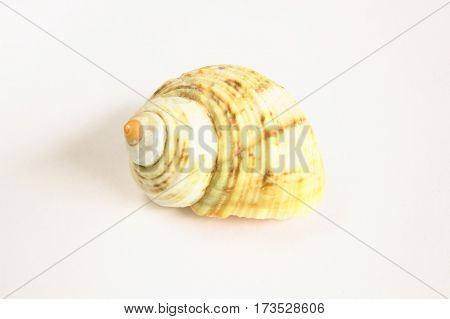Close-up of sea shell on white background