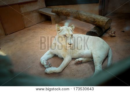 White Lioness At The Zoo