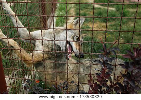 Alone Wolf In Captivity, Looking Behind Fence