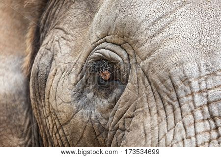 Close up of the eye of an African Elephant. Kruger region, South Africa. Shallow depth of field with selective focus on the eye.