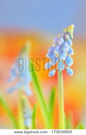 Muscari neglectum flowers in spring time, close up