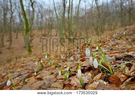 Snowdrops with dew drops in forest, specific season