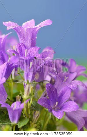 Campanula muralis flowers and dew drops, close up