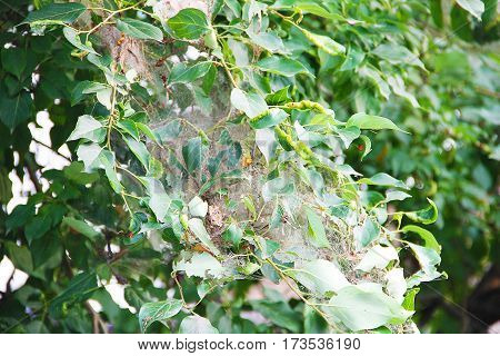 The branches of a poplar tree with green leaves and spider web, struck parasite ermine moth.