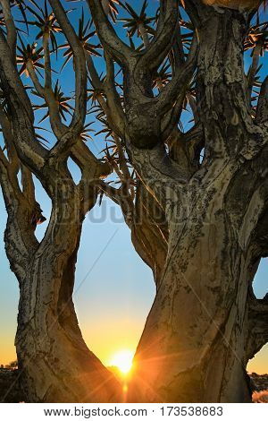 Beautiful african sunset sunrise shines trough branches of Quiver tree.