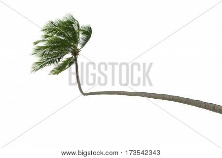 view of nice palm on white back to be cut out