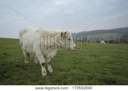 Cows Grazing On A Field. Normandy, France. Breed Of Large Beef Cattle. Cloudy Morning In A Countrysi